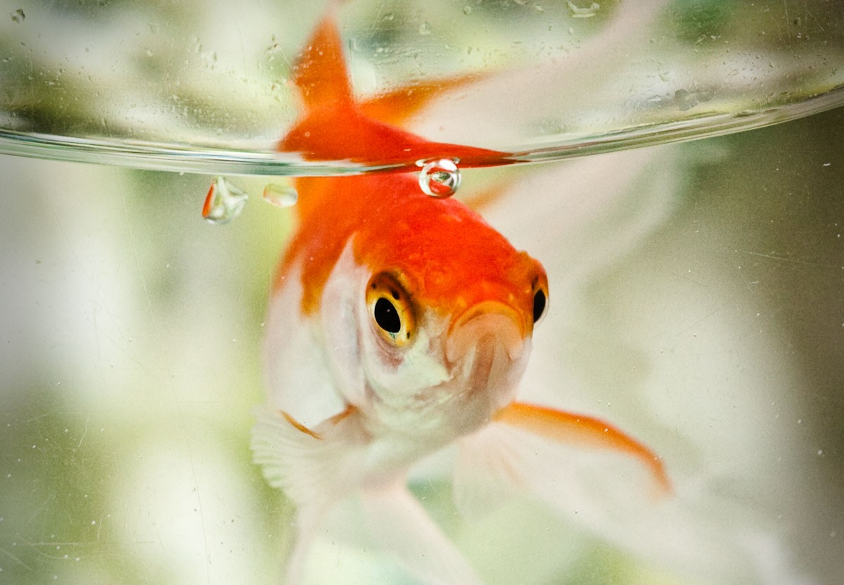Standing out in a sea of goldfish